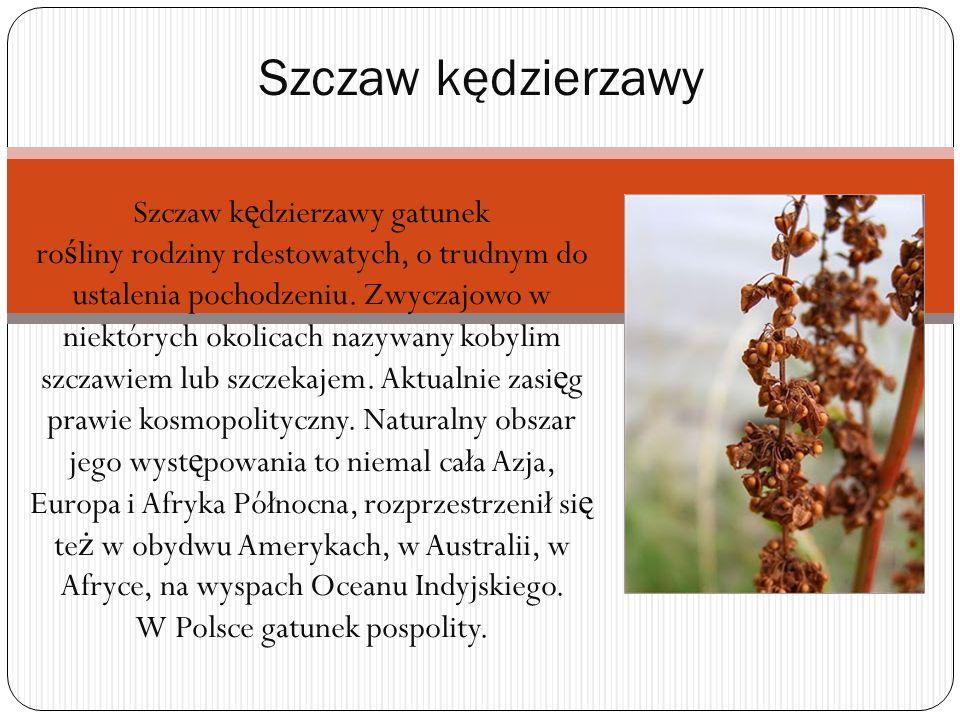 Szczaw k ę dzierzawy gatunek ro ś liny rodziny rdestowatych, o trudnym do ustalenia pochodzeniu. Zwyczajowo w niektórych okolicach nazywany kobylim sz