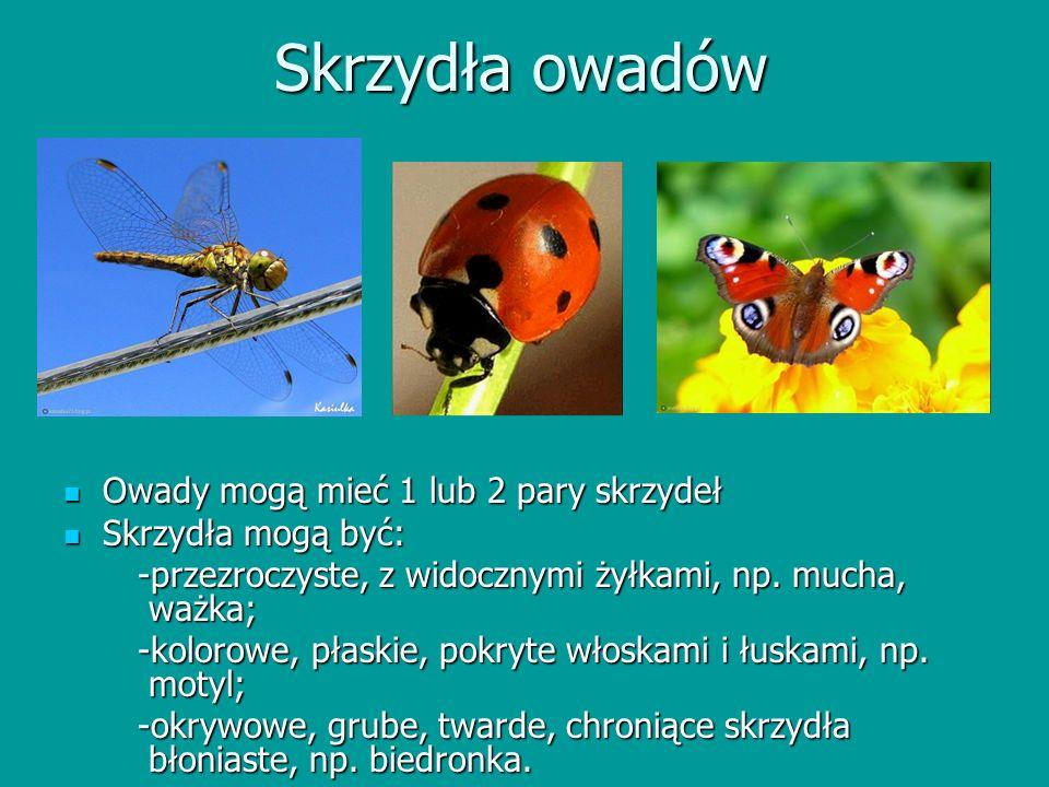 Skrzydła owadów Owady mogą mieć 1 lub 2 pary skrzydeł Owady mogą mieć 1 lub 2 pary skrzydeł Skrzydła mogą być: Skrzydła mogą być: -przezroczyste, z wi