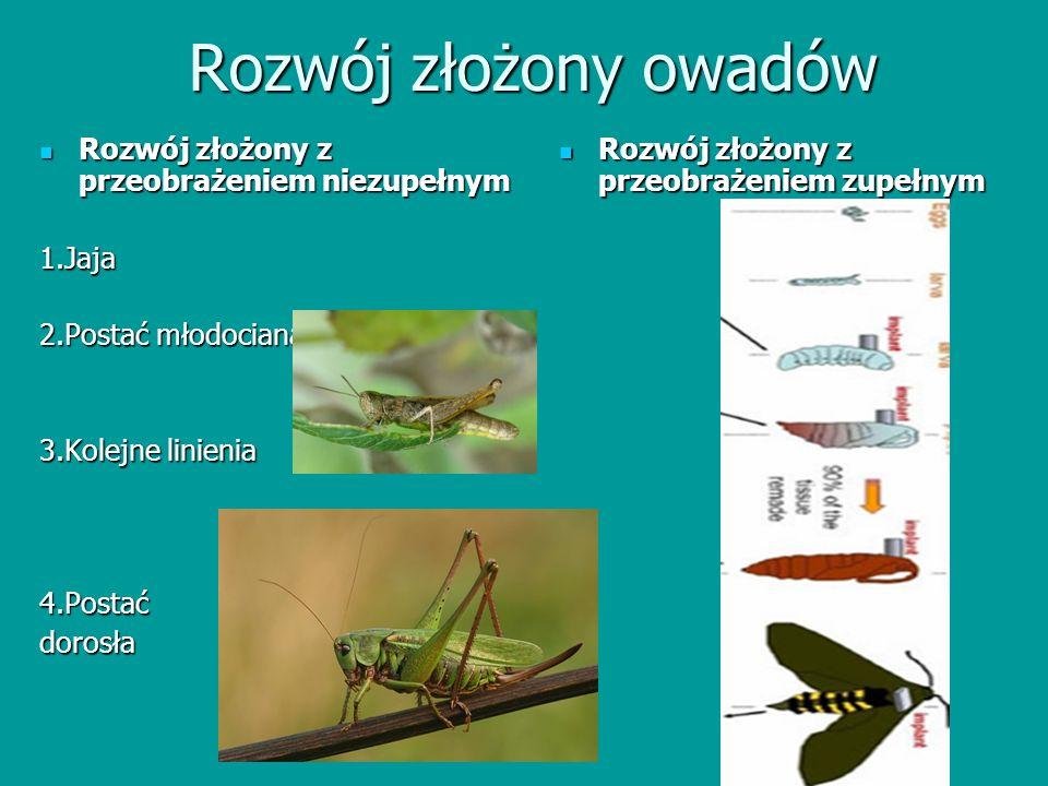 Rozwój złożony owadów Rozwój złożony z przeobrażeniem niezupełnym Rozwój złożony z przeobrażeniem niezupełnym1.Jaja 2.Postać młodociana 3.Kolejne lini