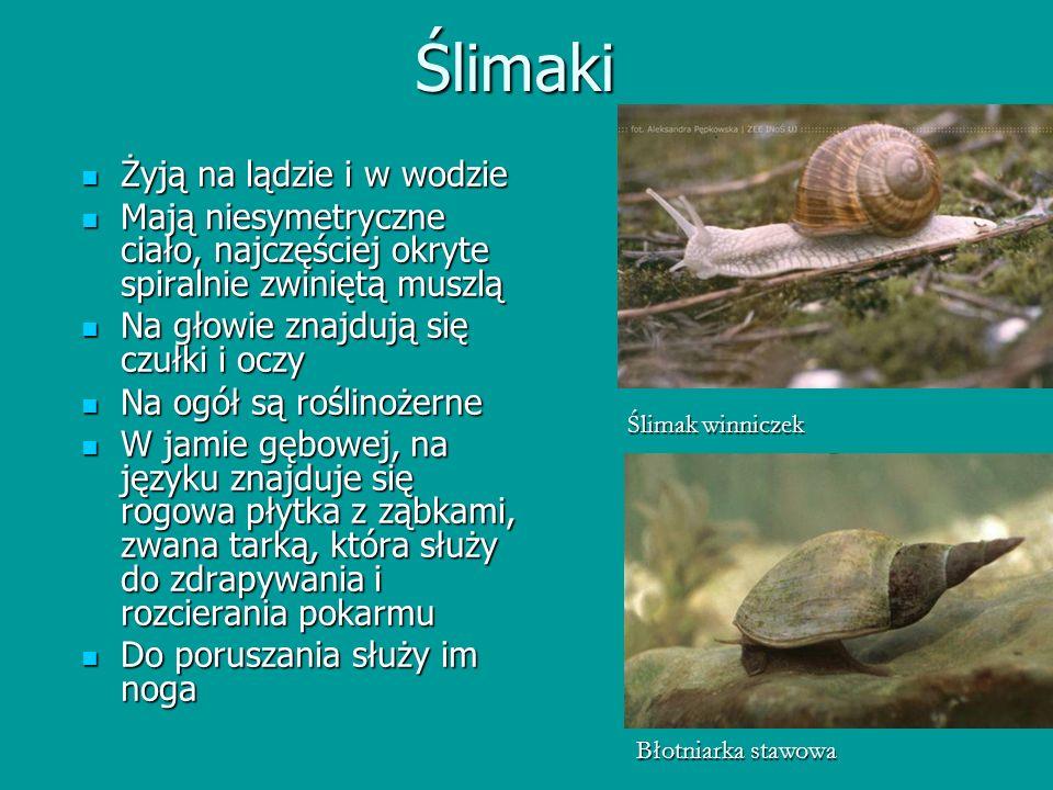 Ślimaki Żyją na lądzie i w wodzie Żyją na lądzie i w wodzie Mają niesymetryczne ciało, najczęściej okryte spiralnie zwiniętą muszlą Mają niesymetryczn