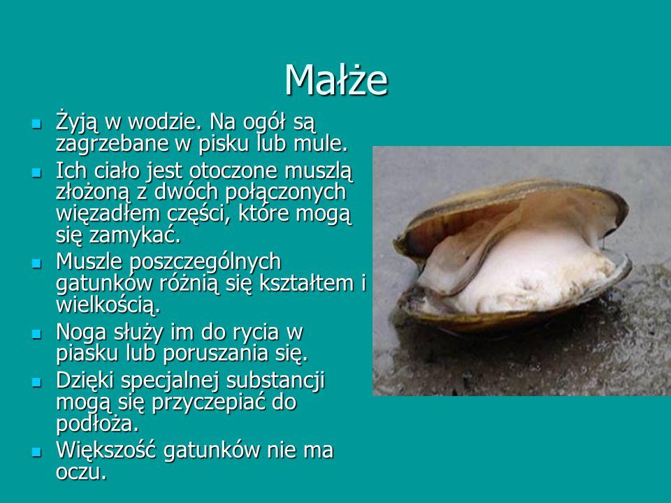 Znaczenie skorupiaków Są składnikiem zooplanktonu – stanowią pokarm dla wielu zwierząt wodnych.