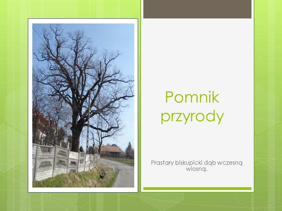 Pomnik przyrody Prastary biskupicki dąb wczesną wiosną.