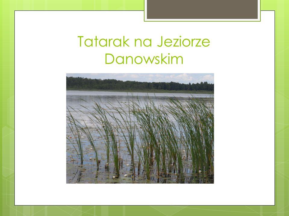 Tatarak na Jeziorze Danowskim