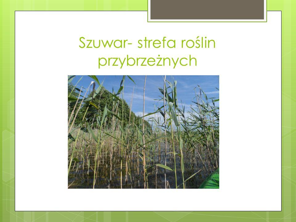 Szuwar- strefa roślin przybrzeżnych