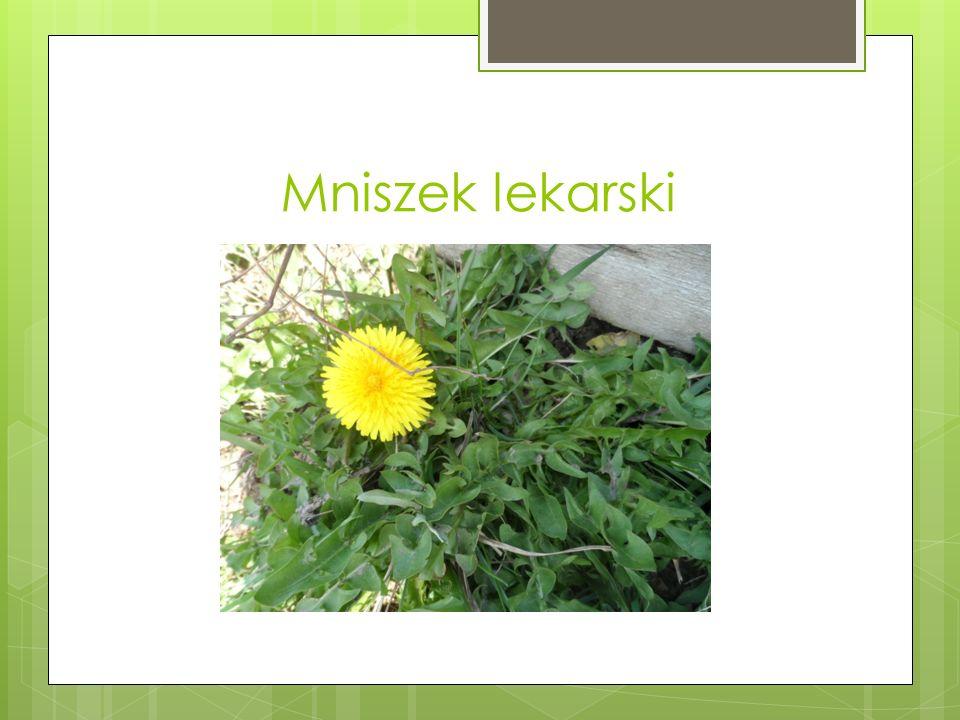 Mniszek lekarski