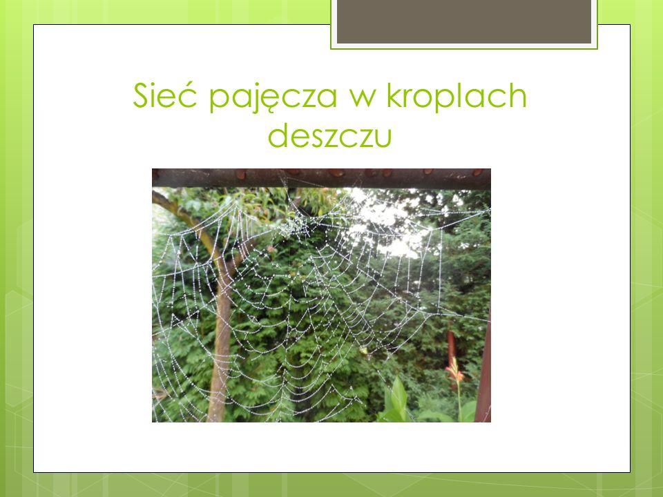 Sieć pajęcza w kroplach deszczu