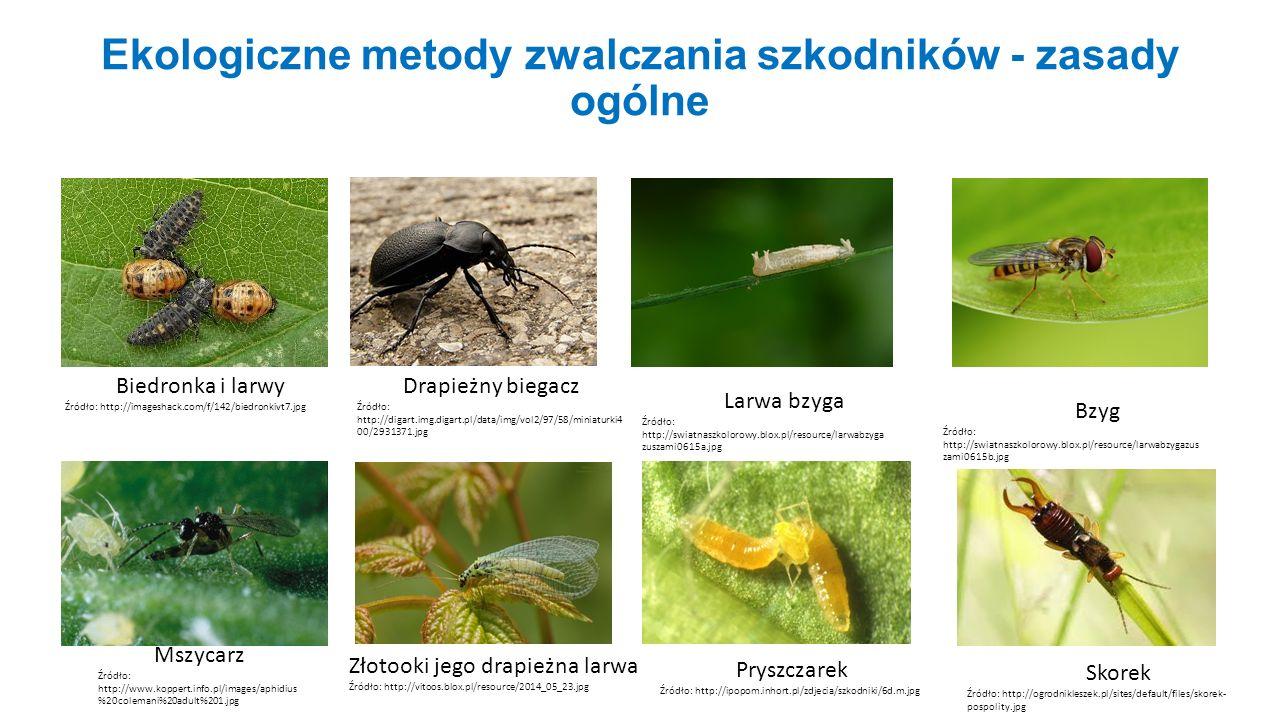 Ekologiczne metody zwalczania szkodników - zasady ogólne Biedronka i larwy Źródło: http://imageshack.com/f/142/biedronkivt7.jpg Drapieżny biegacz Źród