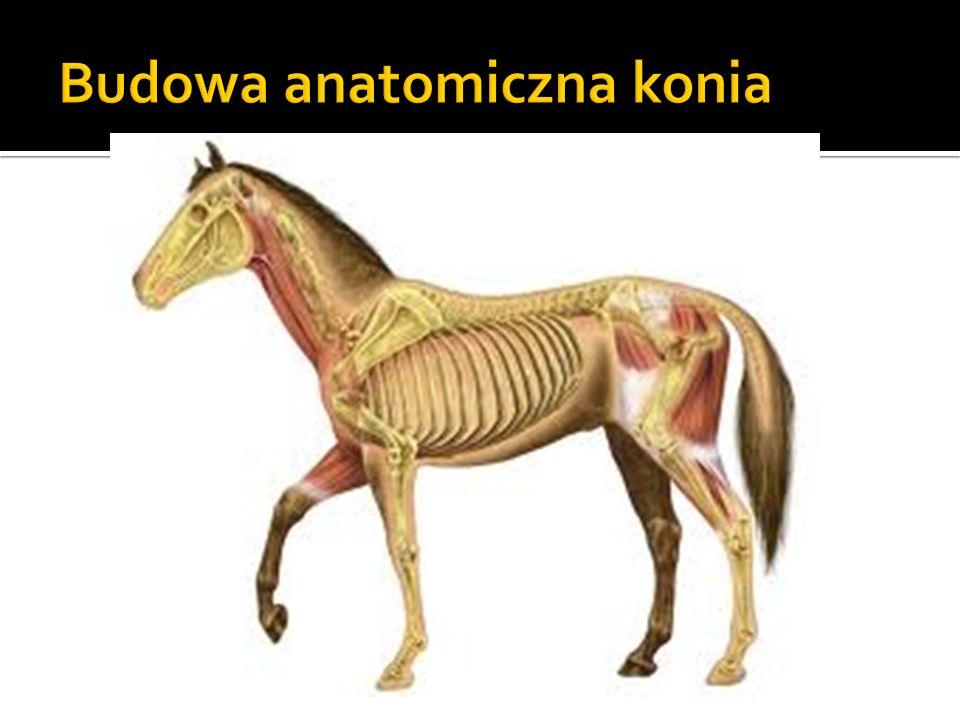 Konie w rozwoju cywilizacji Konie jako źródło pokarmu Konie jako siła robocza Konie wierzchowe