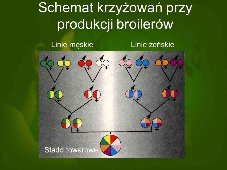 Schemat krzyżowań przy produkcji broilerów Linie męskieLinie żeńskie Stado towarowe