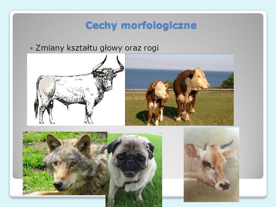 Cechy morfologiczne Zmiany kształtu głowy oraz rogi e-rolnictwo