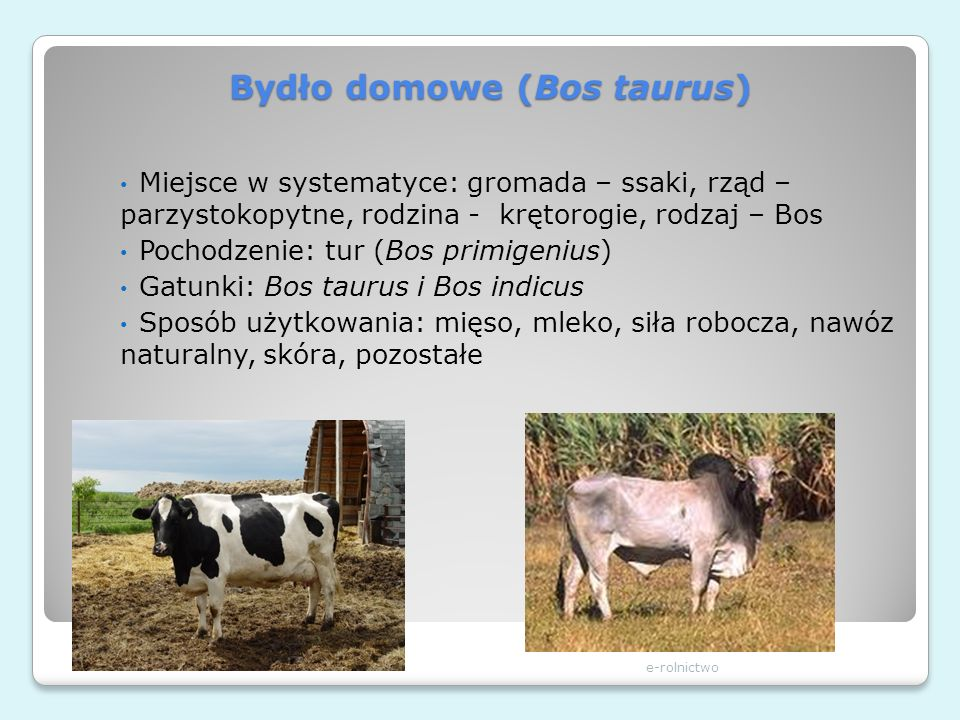 Bydło domowe (Bos taurus) e-rolnictwo Miejsce w systematyce: gromada – ssaki, rząd – parzystokopytne, rodzina - krętorogie, rodzaj – Bos Pochodzenie: