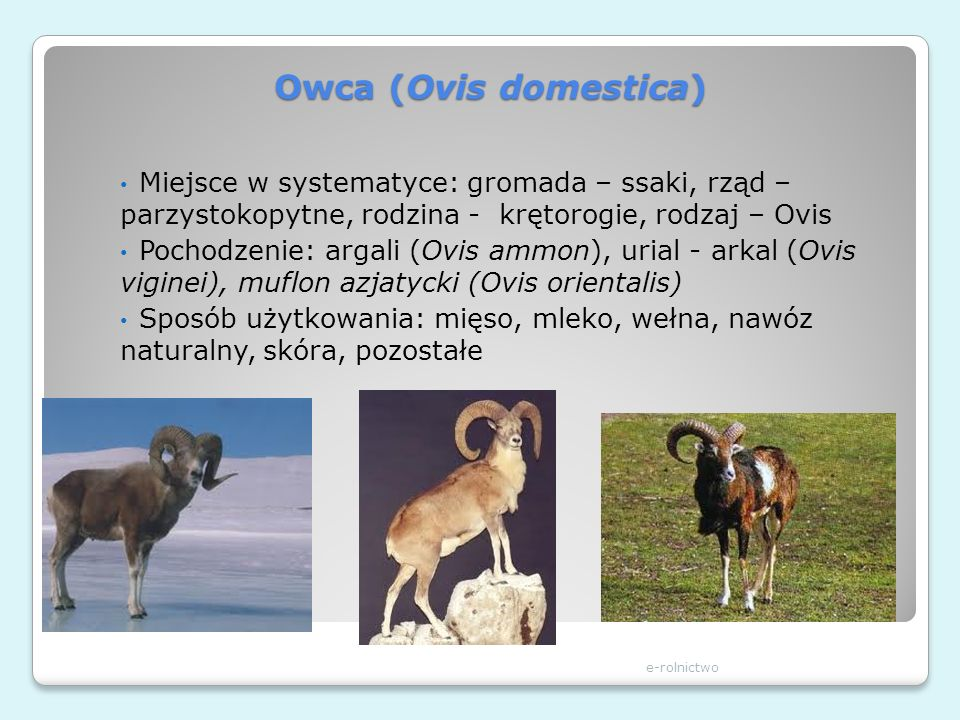 Owca (Ovis domestica) e-rolnictwo Miejsce w systematyce: gromada – ssaki, rząd – parzystokopytne, rodzina - krętorogie, rodzaj – Ovis Pochodzenie: arg