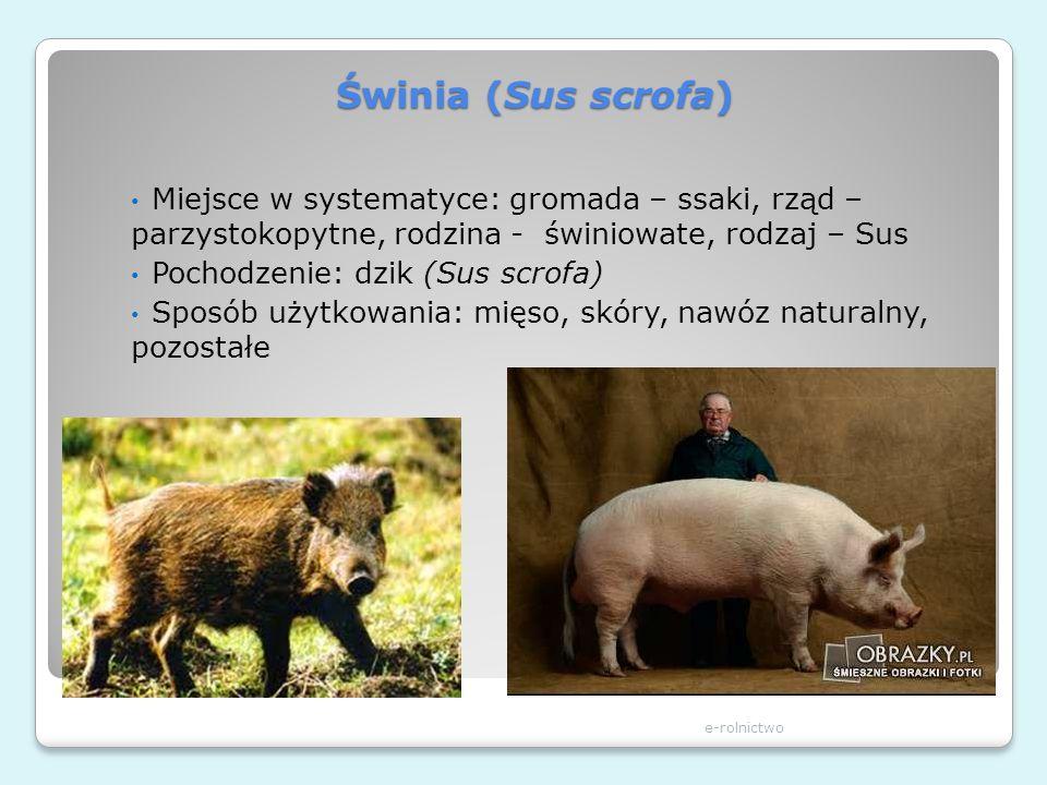 Świnia (Sus scrofa) e-rolnictwo Miejsce w systematyce: gromada – ssaki, rząd – parzystokopytne, rodzina - świniowate, rodzaj – Sus Pochodzenie: dzik (
