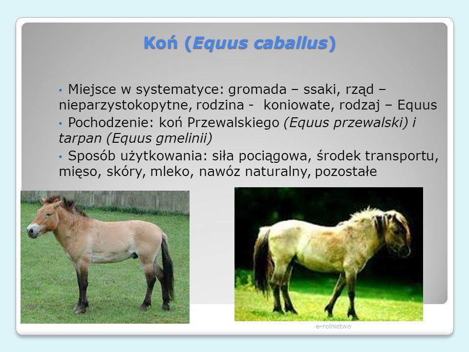 Koń (Equus caballus) e-rolnictwo Miejsce w systematyce: gromada – ssaki, rząd – nieparzystokopytne, rodzina - koniowate, rodzaj – Equus Pochodzenie: k
