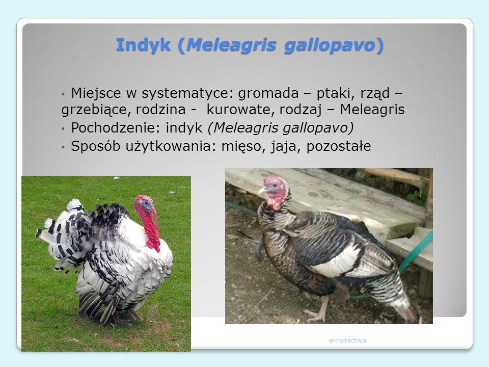 Indyk (Meleagris gallopavo) e-rolnictwo Miejsce w systematyce: gromada – ptaki, rząd – grzebiące, rodzina - kurowate, rodzaj – Meleagris Pochodzenie: