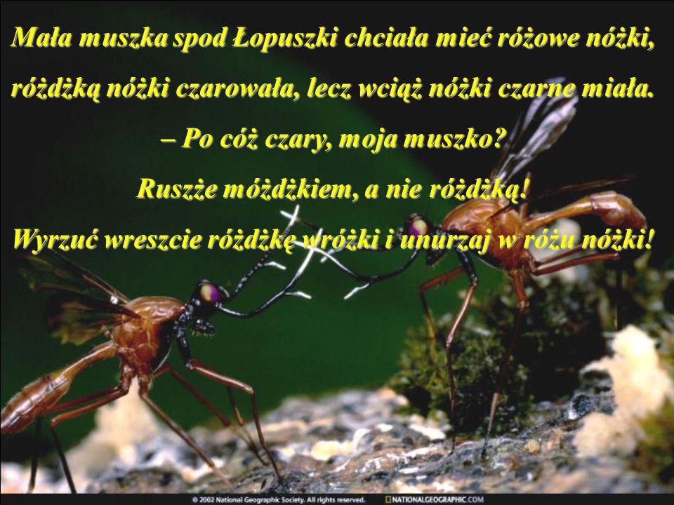 Mała muszka spod Łopuszki chciała mieć różowe nóżki, różdżką nóżki czarowała, lecz wciąż nóżki czarne miała.