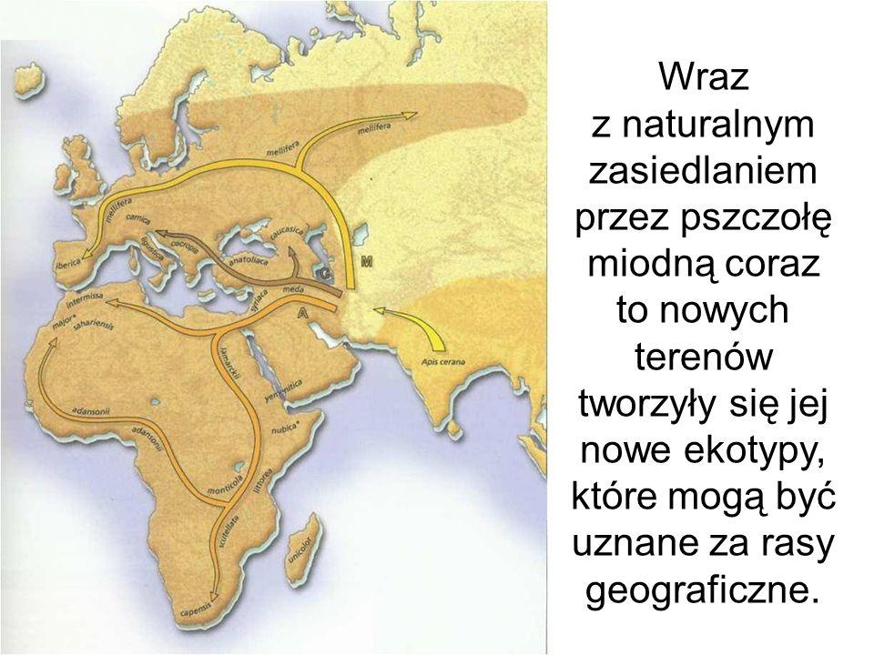 Wraz z naturalnym zasiedlaniem przez pszczołę miodną coraz to nowych terenów tworzyły się jej nowe ekotypy, które mogą być uznane za rasy geograficzne