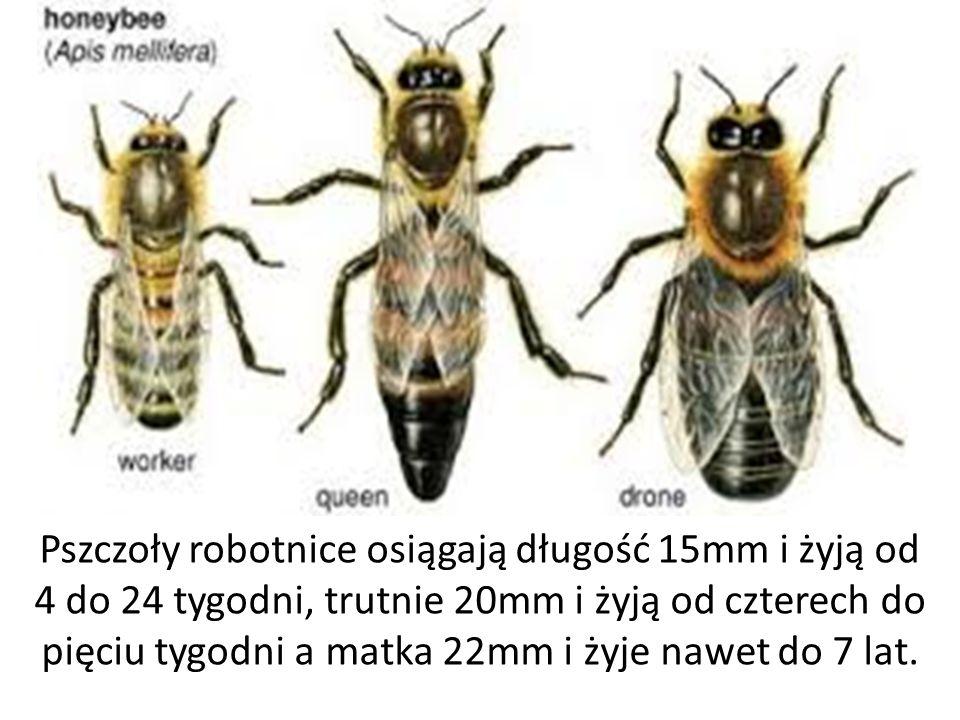 Pszczoły robotnice osiągają długość 15mm i żyją od 4 do 24 tygodni, trutnie 20mm i żyją od czterech do pięciu tygodni a matka 22mm i żyje nawet do 7 l
