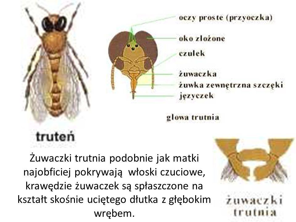 Żuwaczki trutnia podobnie jak matki najobficiej pokrywają włoski czuciowe, krawędzie żuwaczek są spłaszczone na kształt skośnie uciętego dłutka z głęb