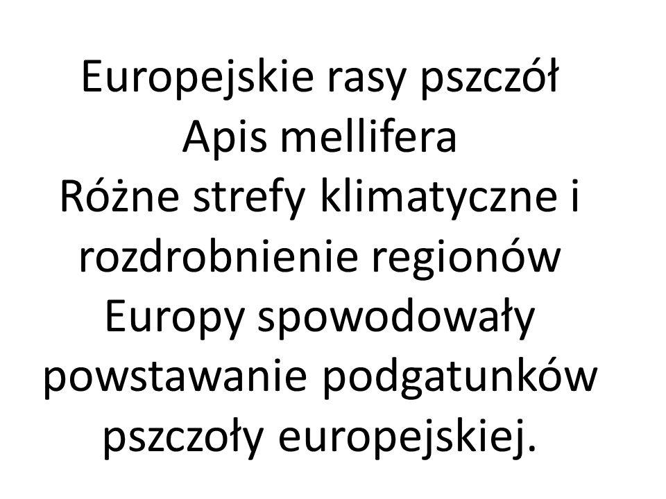 Europejskie rasy pszczół Apis mellifera Różne strefy klimatyczne i rozdrobnienie regionów Europy spowodowały powstawanie podgatunków pszczoły europejs