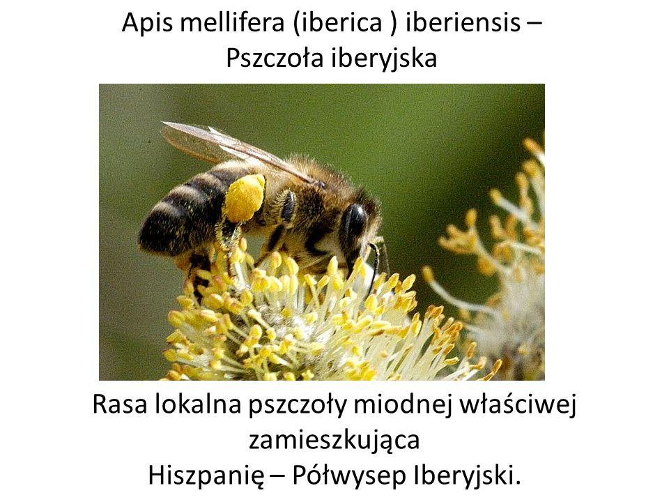 Apis mellifera (iberica ) iberiensis – Pszczoła iberyjska Rasa lokalna pszczoły miodnej właściwej zamieszkująca Hiszpanię – Półwysep Iberyjski.