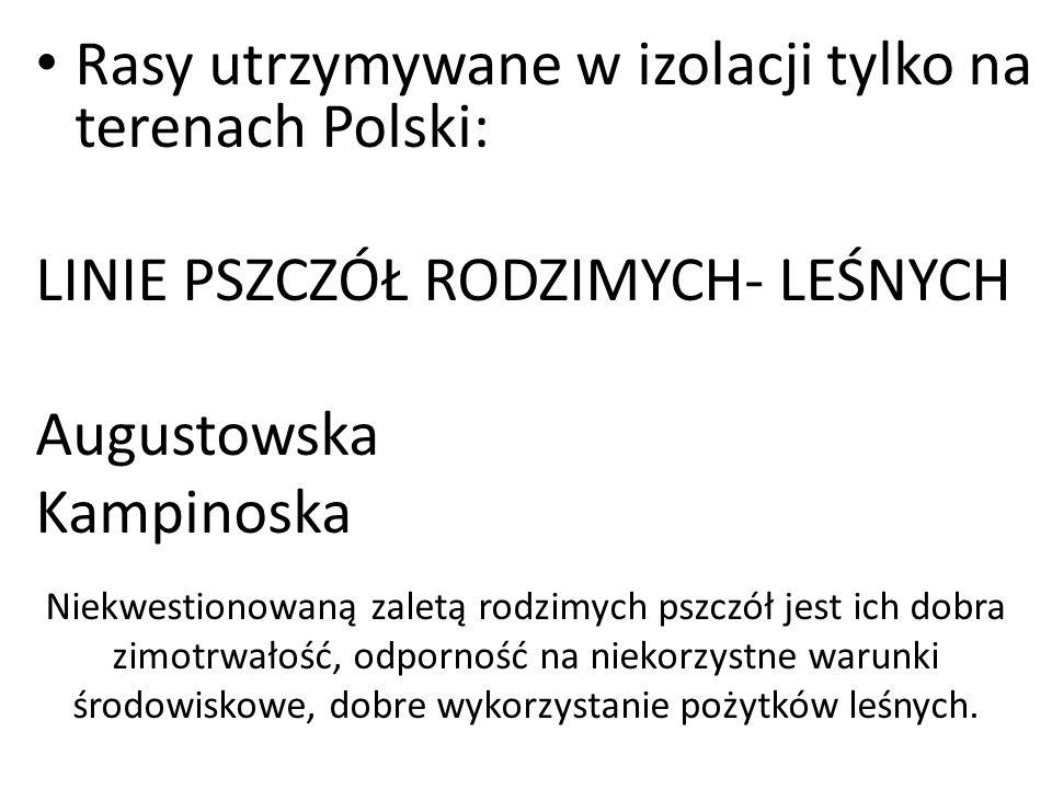 Rasy utrzymywane w izolacji tylko na terenach Polski: LINIE PSZCZÓŁ RODZIMYCH- LEŚNYCH Augustowska Kampinoska Niekwestionowaną zaletą rodzimych pszczó