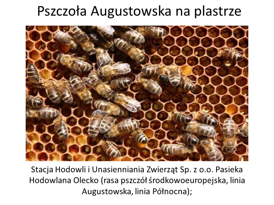 Stacja Hodowli i Unasienniania Zwierząt Sp. z o.o. Pasieka Hodowlana Olecko (rasa pszczół środkowoeuropejska, linia Augustowska, linia Północna); Pszc