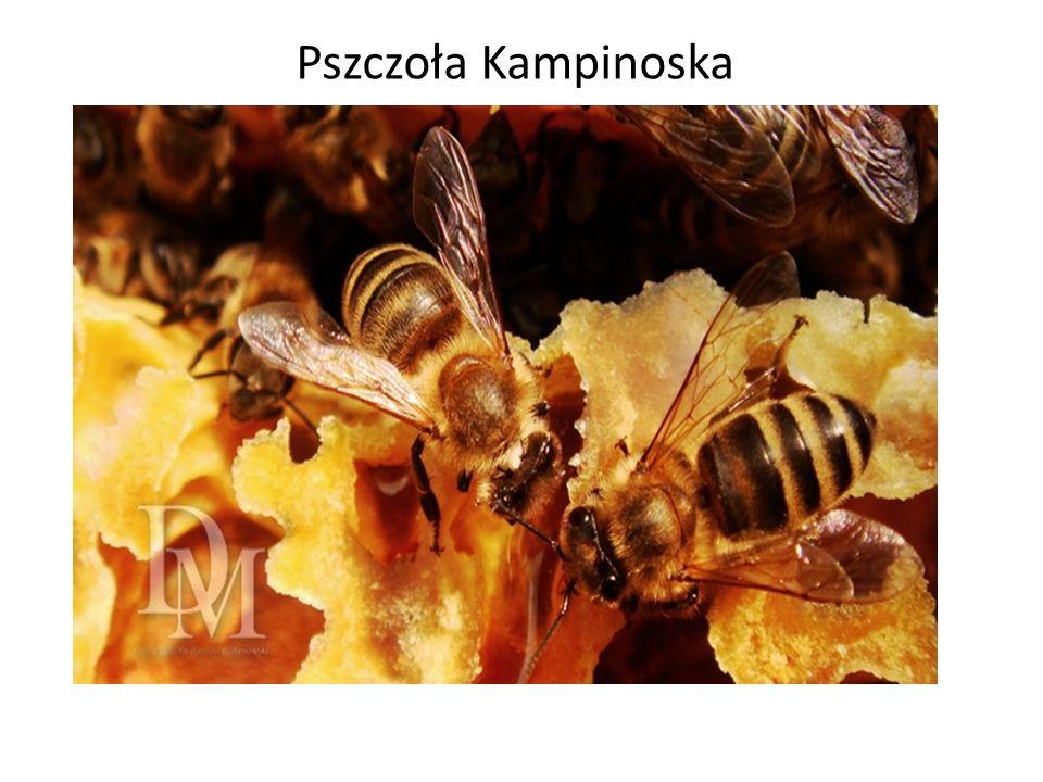 Pszczoła Kampinoska