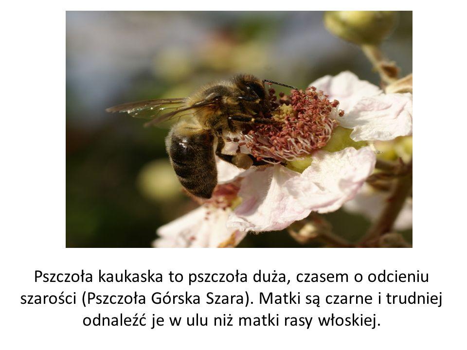 Pszczoła kaukaska to pszczoła duża, czasem o odcieniu szarości (Pszczoła Górska Szara). Matki są czarne i trudniej odnaleźć je w ulu niż matki rasy wł