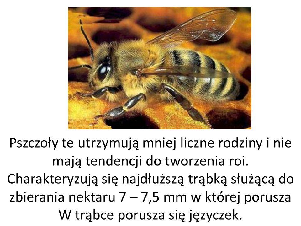 Pszczoły te utrzymują mniej liczne rodziny i nie mają tendencji do tworzenia roi. Charakteryzują się najdłuższą trąbką służącą do zbierania nektaru 7