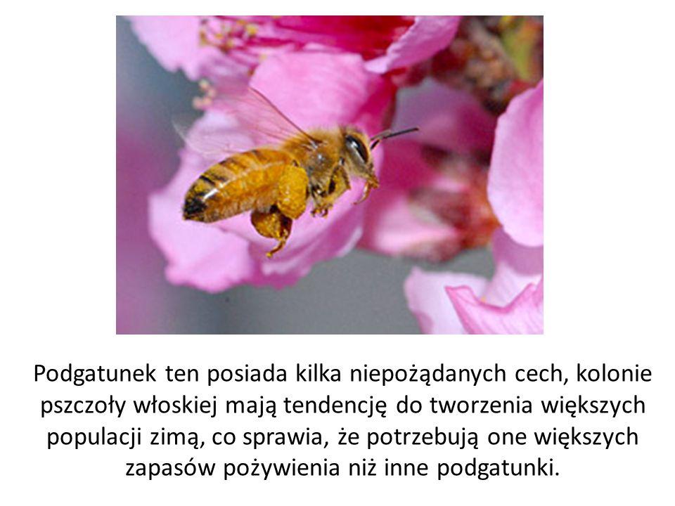 Podgatunek ten posiada kilka niepożądanych cech, kolonie pszczoły włoskiej mają tendencję do tworzenia większych populacji zimą, co sprawia, że potrze