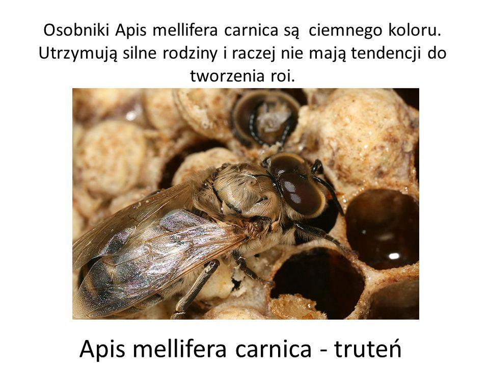 Osobniki Apis mellifera carnica są ciemnego koloru. Utrzymują silne rodziny i raczej nie mają tendencji do tworzenia roi. Apis mellifera carnica - tru