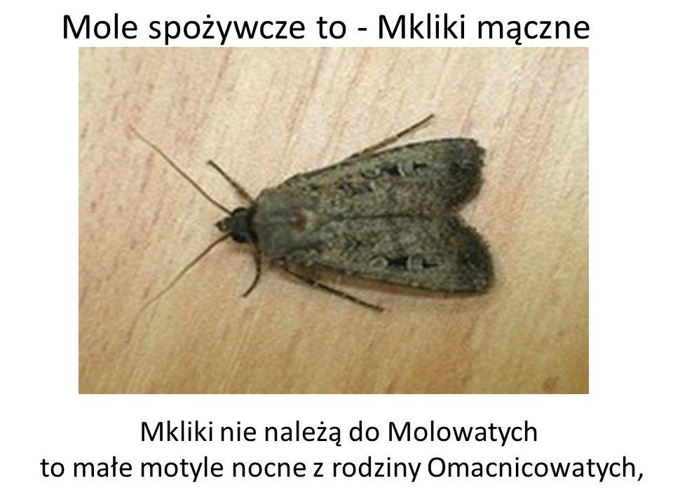 Mole spożywcze to - Mkliki mączne Mkliki nie należą do Molowatych to małe motyle nocne z rodziny Omacnicowatych,