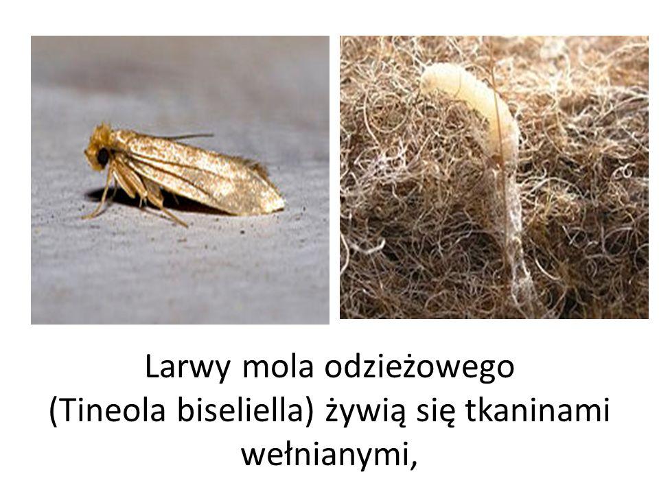 Larwy mola odzieżowego (Tineola biseliella) żywią się tkaninami wełnianymi,