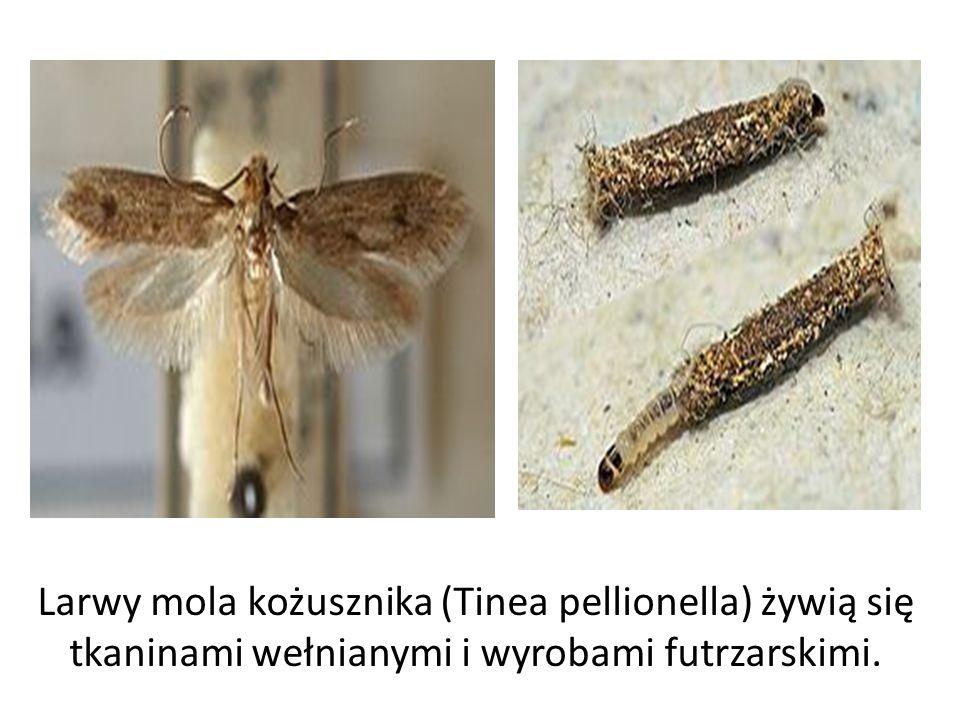 Larwy mola kożusznika (Tinea pellionella) żywią się tkaninami wełnianymi i wyrobami futrzarskimi.