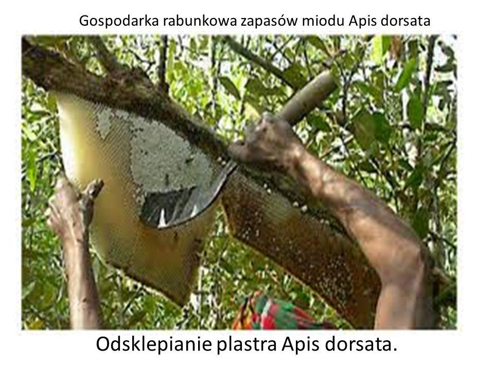 Odsklepianie plastra Apis dorsata. Gospodarka rabunkowa zapasów miodu Apis dorsata