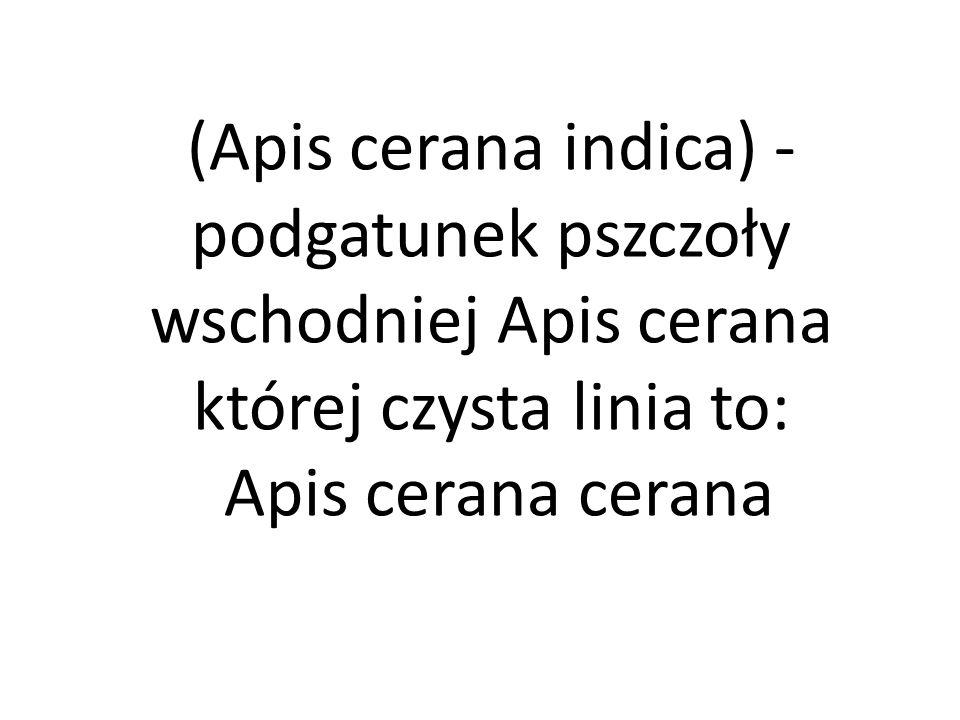 (Apis cerana indica) - podgatunek pszczoły wschodniej Apis cerana której czysta linia to: Apis cerana cerana