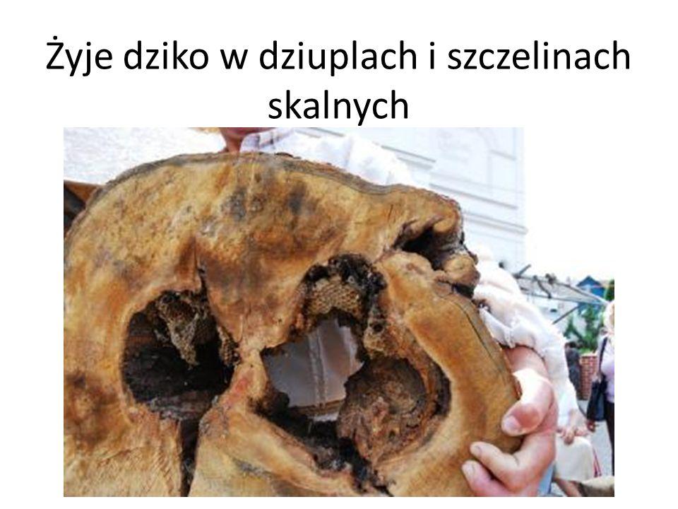 Żyje dziko w dziuplach i szczelinach skalnych