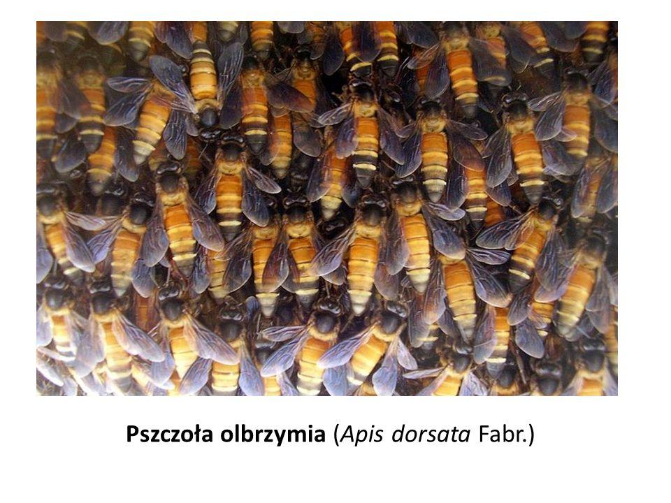 Pszczoła olbrzymia (Apis dorsata Fabr.)