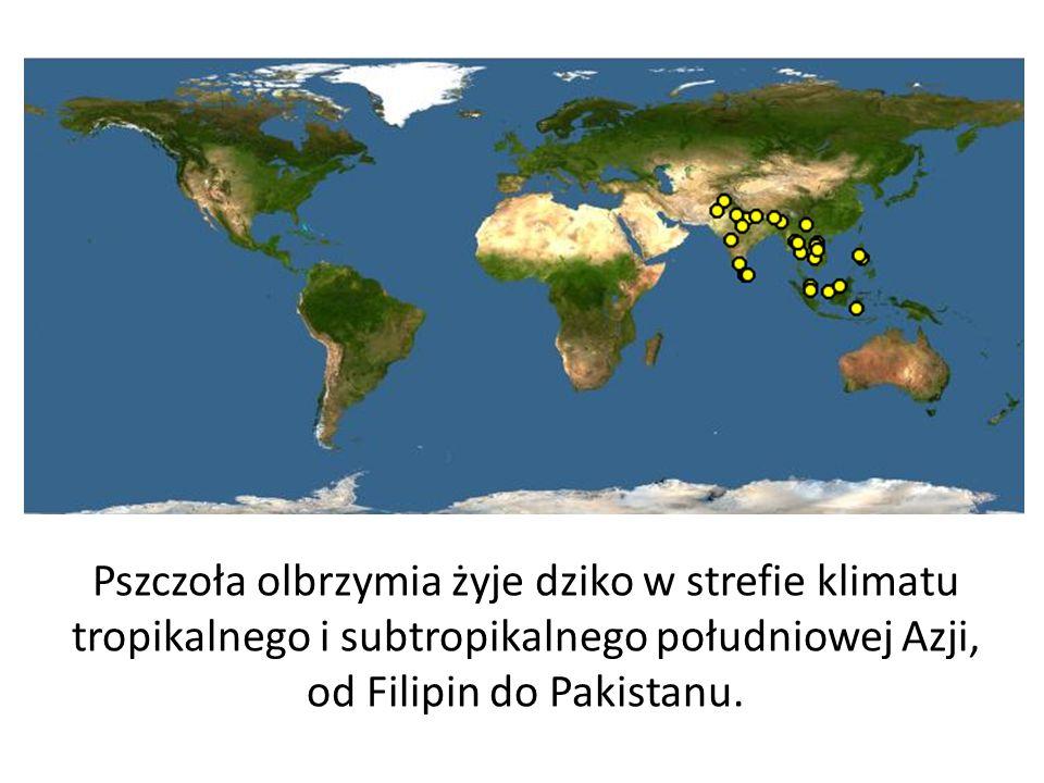 Cechy Gatunku Apis mellifera które utrwaliły się podczas ostatniego zlodowacenia i umożliwiły podbój stref o zimnym i umiarkowanym klimacie.