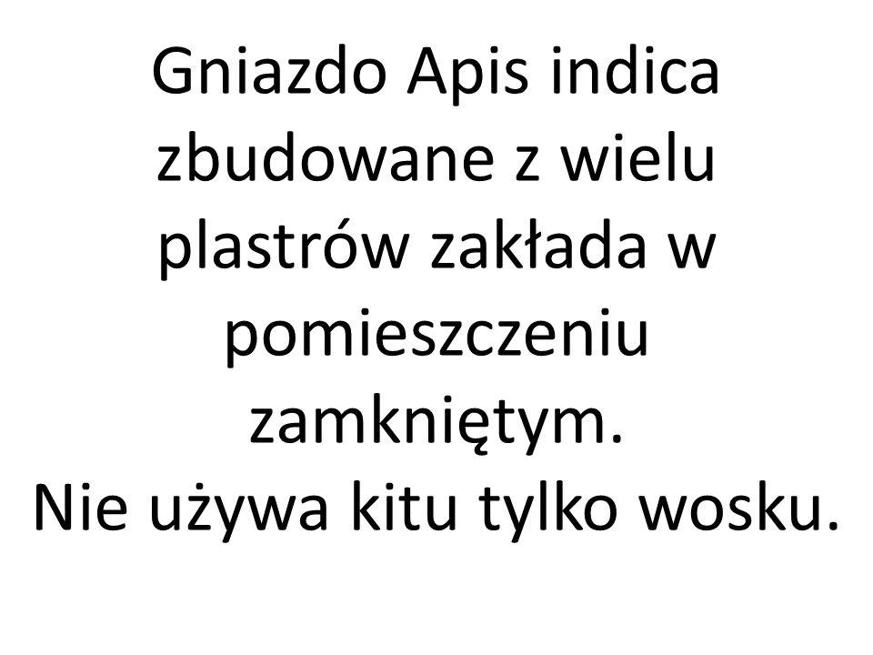 Gniazdo Apis indica zbudowane z wielu plastrów zakłada w pomieszczeniu zamkniętym. Nie używa kitu tylko wosku.