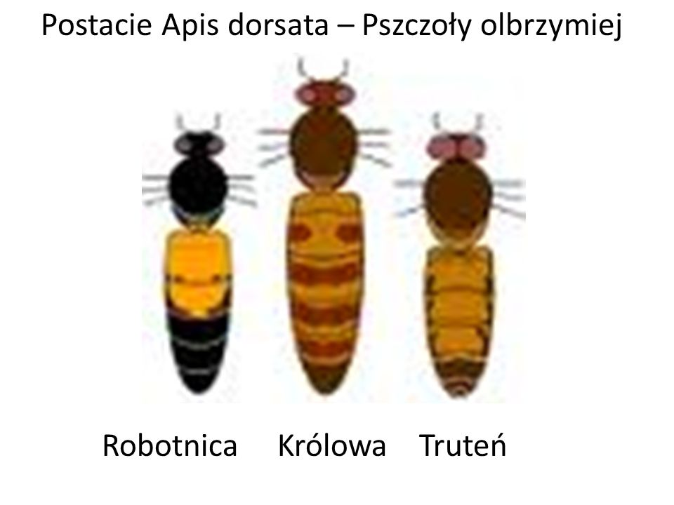 Robotnica Królowa Truteń Postacie Apis dorsata – Pszczoły olbrzymiej