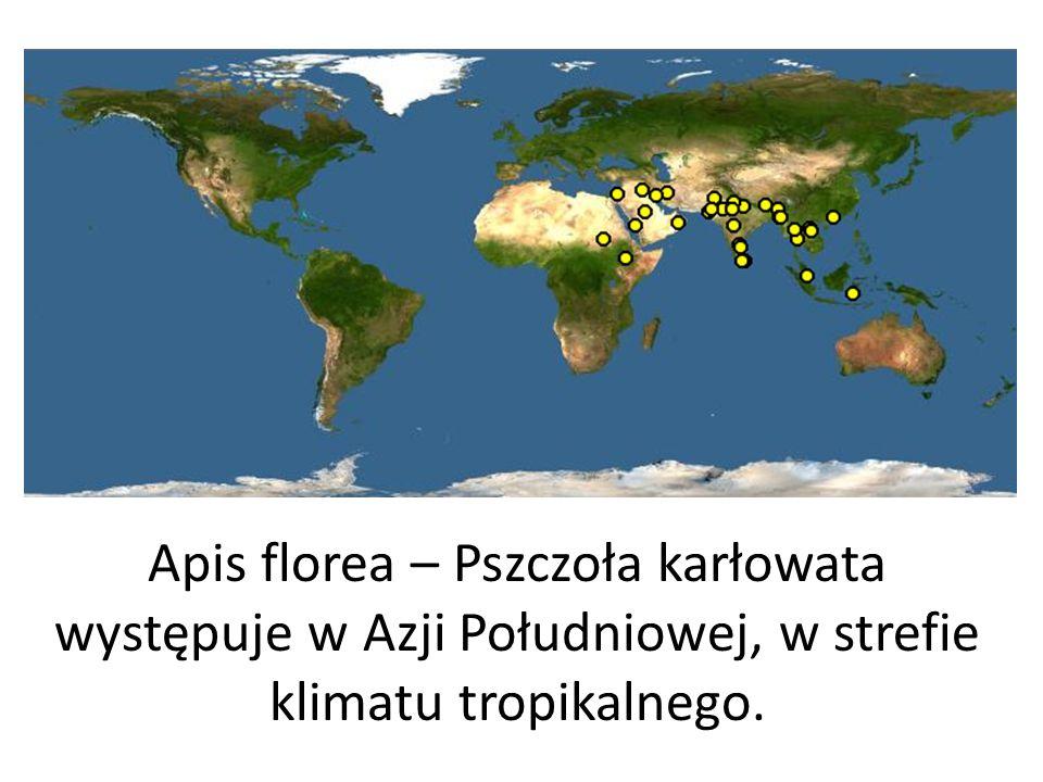Apis florea – Pszczoła karłowata występuje w Azji Południowej, w strefie klimatu tropikalnego.