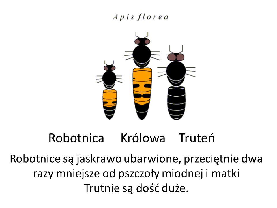 Robotnice są jaskrawo ubarwione, przeciętnie dwa razy mniejsze od pszczoły miodnej i matki Trutnie są dość duże. Robotnica Królowa Truteń