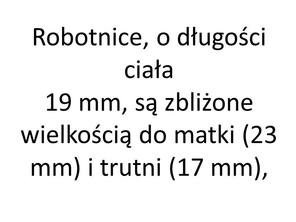 Robotnice, o długości ciała 19 mm, są zbliżone wielkością do matki (23 mm) i trutni (17 mm),