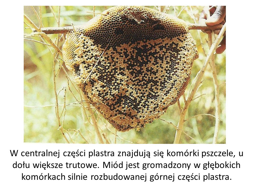 W centralnej części plastra znajdują się komórki pszczele, u dołu większe trutowe. Miód jest gromadzony w głębokich komórkach silnie rozbudowanej górn