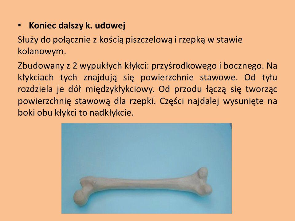 Koniec dalszy k. udowej Służy do połącznie z kością piszczelową i rzepką w stawie kolanowym. Zbudowany z 2 wypukłych kłykci: przyśrodkowego i bocznego