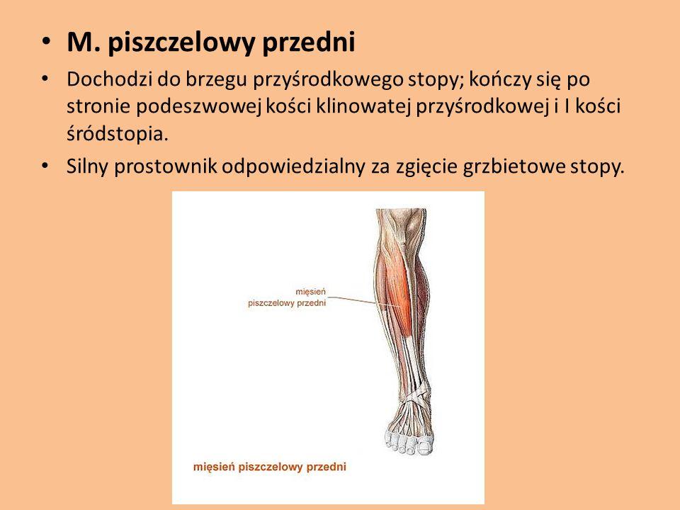 M. piszczelowy przedni Dochodzi do brzegu przyśrodkowego stopy; kończy się po stronie podeszwowej kości klinowatej przyśrodkowej i I kości śródstopia.