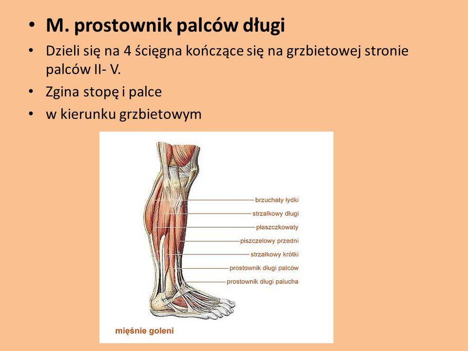 M. prostownik palców długi Dzieli się na 4 ścięgna kończące się na grzbietowej stronie palców II- V. Zgina stopę i palce w kierunku grzbietowym