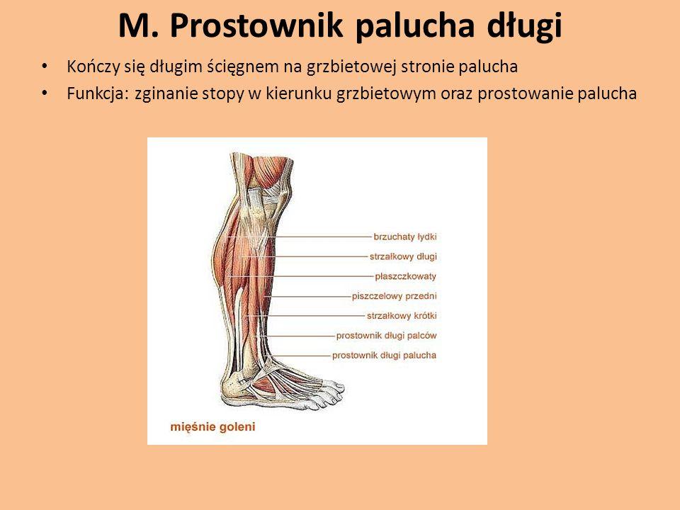 M. Prostownik palucha długi Kończy się długim ścięgnem na grzbietowej stronie palucha Funkcja: zginanie stopy w kierunku grzbietowym oraz prostowanie